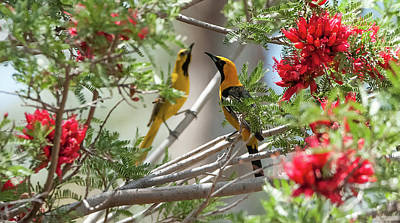 Photograph - $250 - 16x20 Canvas - Hooded Orioles 7513-052215-2cr by Tam Ryan