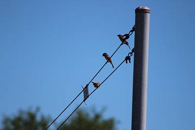 Photograph - Hooded Sparrows On A Wire by Colleen Cornelius