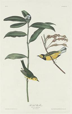 Wings Drawing - Hooded Warbler by Dreyer Wildlife Print Collections