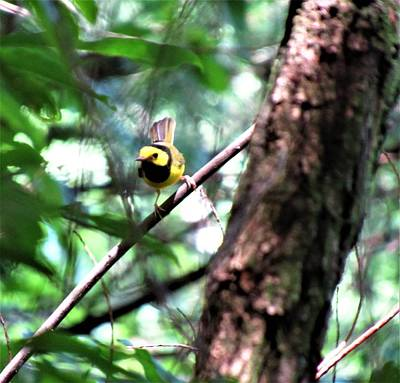 Photograph - Hooded Warbler by Joshua Bales