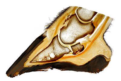 Hoof Exostosis And Subchondral Bone Cyst Plastination Original by Christoph Von Horst