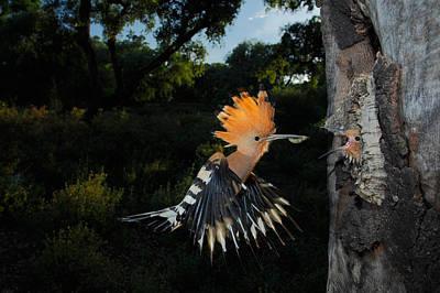 Flight Photograph - Hoopoe In Flight by Andres Miguel Dominguez