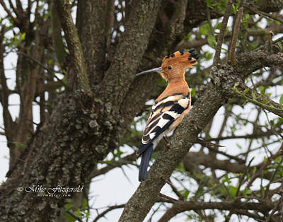 Photograph - Hoopoe by Mike Fitzgerald