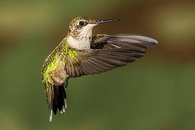 Photograph - Hoovering Hummer by Paul Freidlund