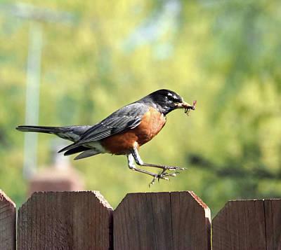 Photograph - Hop Robin by C H Apperson