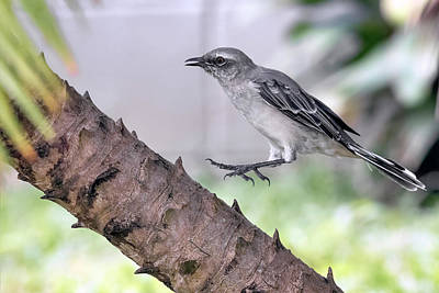 Photograph - Tropical Mockingbird by Nadia Sanowar