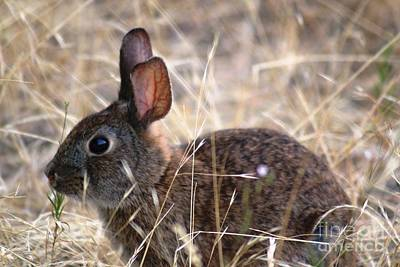 Photograph - Hopping Brown Bunny by Nick Gustafson