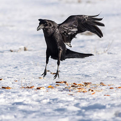 Photograph - Hopping Mad Raven In The Snow by John Brink