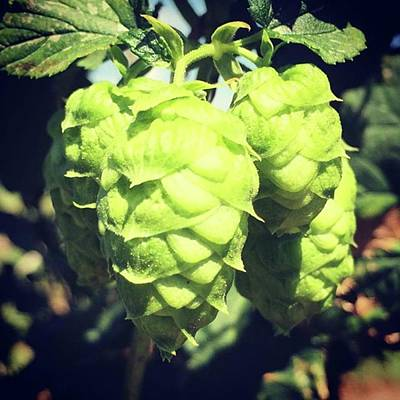 Hop Photograph - Hops by Justin Connor