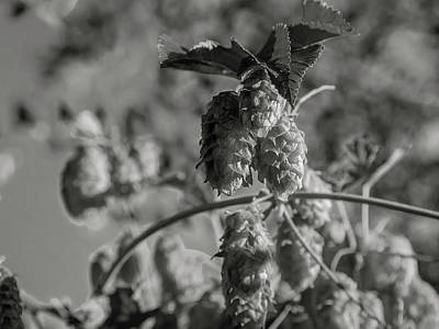 Photograph - Hops by Mark Mille