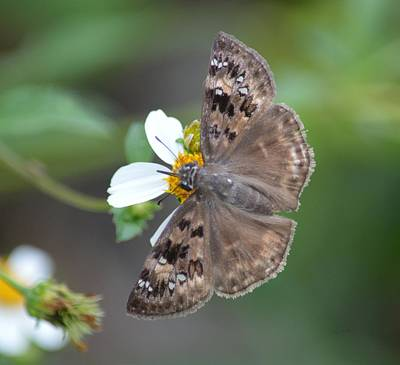 Photograph - Horace's Duskywing Butterfly by rd Erickson