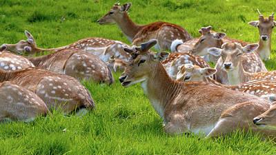 Photograph - Horde Of Resting Deer by Jacek Wojnarowski