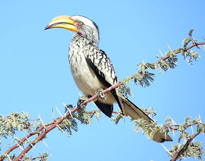 Photograph - Hornbill In Thorn Tree by David Rich