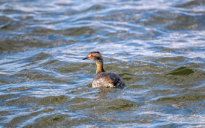 Photograph - Horned Grebe Fishing In The Chesapeake Bay In Maryland by Patrick Wolf