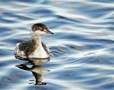 Photograph - Horned Grebe II by Dawn Currie