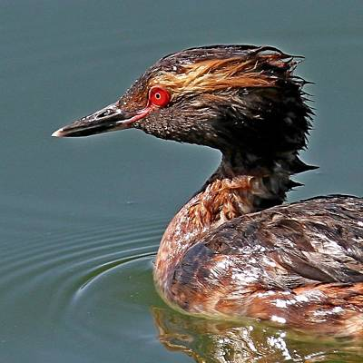 Photograph - Horned Grebe In Breeding Colors by Ira Runyan