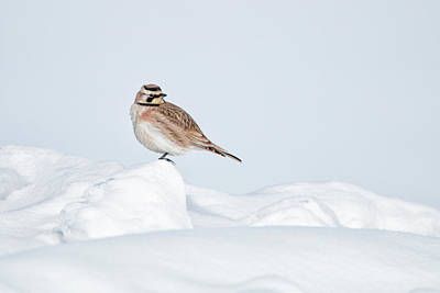 Photograph - Horned Lark by Celine Pollard