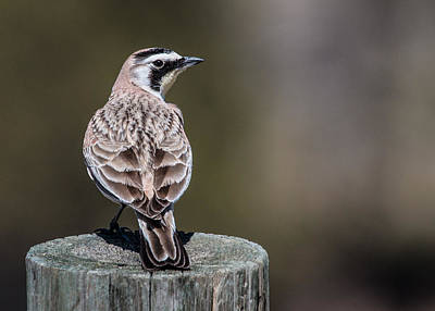 Horned Lark Print by Dawn Key
