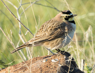 Horned Lark Art Print by Mike Dawson