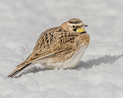 Horned Lark On The Snow Print by Morris Finkelstein