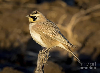 Photograph - Horned Lark by Ricky L Jones