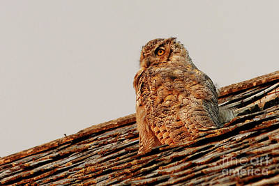 Photograph - Horned Owl At Sunset by Alyce Taylor