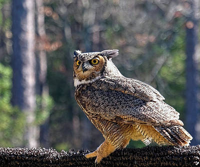 Photograph - Horned Owl Pose by Ronda Ryan