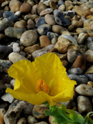 Photograph - Horned Poppy And Pebbles by John Topman