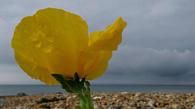 Photograph - Horned Poppy By The Sea by John Topman