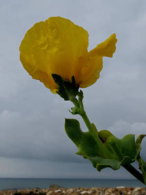 Photograph - Horned Poppy by John Topman