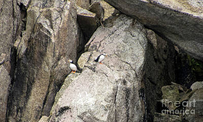 Photograph - Horned Puffin Pair by Louise Magno
