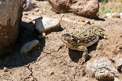 Photograph - Horned Toad by David Cutts