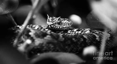 Photograph - Horned Viper Snake Head Macro Black And White by Shawn O'Brien