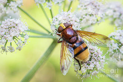 Photograph - Hornet Mimic Hoverfly - Volucella Zonaria by Jivko Nakev