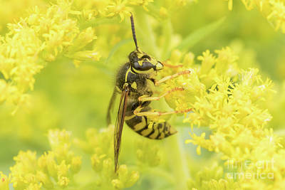 Nikki Vig Royalty-Free and Rights-Managed Images - Hornet on Goldenrod by Nikki Vig