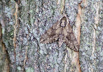 Photograph - Hornworm Moth II by Wade Clark