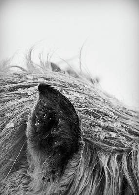 Horse, Close-up Of Ear And Mane Art Print by Vilhjalmur Ingi Vilhjalmsson