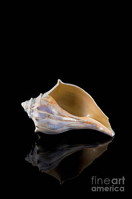 Photograph - Horse Conch by Anthony Sacco