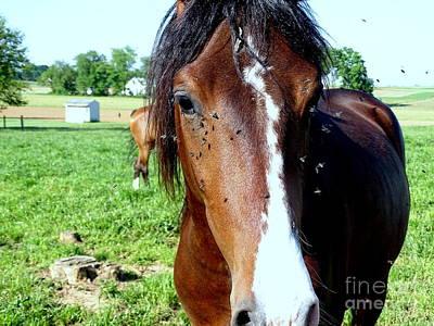 Photograph - Horse Flies by Ed Weidman