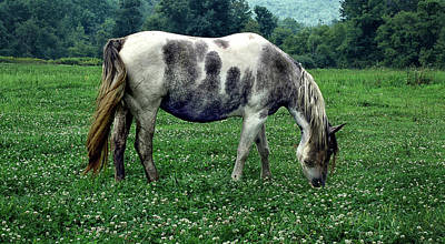 Photograph - Horse Grazing In A Field Of Clover by Phil Cardamone