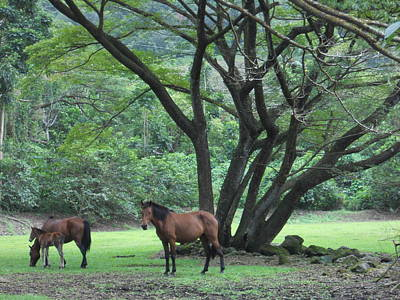 Guava Tree Photograph - Horse Heaven by Charles  Jennison