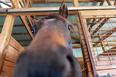 Photograph - Horse Hello by Joseph Caban