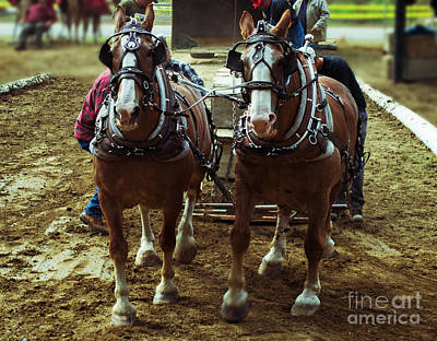 Photograph - Horse Pull by Kevin Fortier