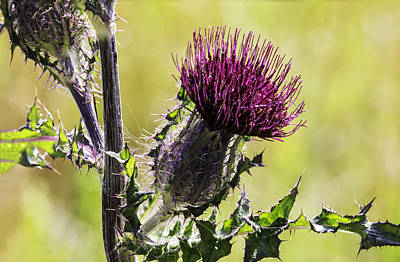 Photograph - Horse Thistle 01 by Jim Dollar