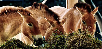 Photograph - Horses Eating Hay by Pixabay