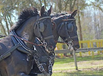 Photograph - Horses In Harness  by Dodie Ulery