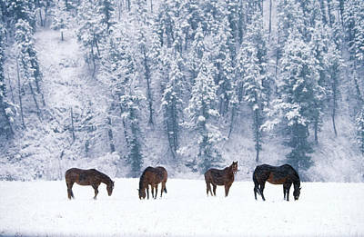 Photograph - Horses In Snow by Alan Carey