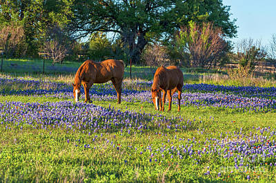 Bluebonnet Photograph - Horses In The Bluebonnets by Tod and Cynthia Grubbs