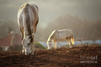 Photograph - Horses Winter Grazing by Dimitar Hristov