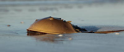 Photograph - Horseshoe Crab by Sean Allen
